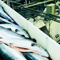 fisk i fabrikk