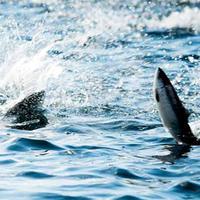 fisk som hopper
